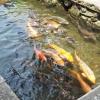 ฮิดะฟุรุคาวะ เมืองปลาคาร์ฟในคูระบายน้ำใสสะอาด
