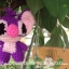 stitchสีม่วงน่ารักดี thumbnail 3
