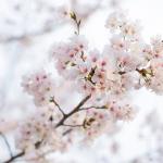 หัวน้ำหอมกลิ่นซากุระ sakura รหัส002693