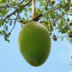 น้ำมันเบาบับ (Baobab Oil) 100ml