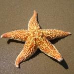 สารสกัด ปลาดาว Starfish Extract 50g