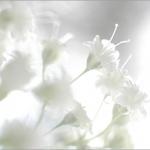 หัวน้ำหอม Soft white k004084