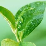 น้ำหอม green tea 000863