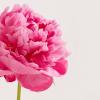 หัวน้ำหอม ดอกพีโอนี่ peony NG 004253