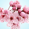 หัวน้ำหอม japanese cherry blossom NG 003939