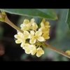 หัวน้ำหอมกลิ่น ดอกหอมหมื่นลี้ 003213