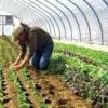 การปลูกผักระบบเกษตรอินทรีย์
