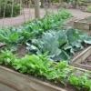 วิธีการปลูกผักสวนครัว