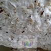 เชื้อราขาว บิวเวอร์เรีย บาเซียน่า