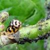 การกำจัดแมลงศัตรูพืชโดยชีววิธี แมลงตัวห้ำ