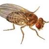 แมลงวันทอง