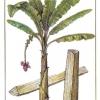 การปลูกกล้วยเล็บมือนาง/โรคพืชและแมลงศัตรูพืช