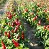 การปลูกพริก /โรคพืชและแมลงศัตรูพืช