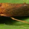 การใช้สารชีวภัณฑ์กำจัดแมลงศัตรูพืช/เพลี๊ยจั๊กจั่น