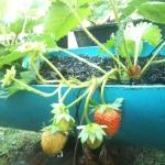 ปลูกสตรอว์เบอร์รี่ strawberry ไว้ทานเองง่ายๆสไตล์ Hydroboxs