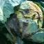 แมกมา ชีวภัณฑ์กำจัดโรคพืชที่เกิดจากแบคทีเรีย thumbnail 3