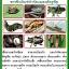 หัวเชื้อรา เมธาไรเซียม บริสุทธิ์ สำหรับขยายเชื้อ กำจัดแมลง thumbnail 3
