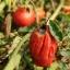 แมกมา ชีวภัณฑ์กำจัดโรคพืชที่เกิดจากแบคทีเรีย thumbnail 7
