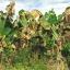 แมกมา ชีวภัณฑ์กำจัดโรคพืชที่เกิดจากแบคทีเรีย thumbnail 5
