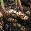แมกมา ชีวภัณฑ์กำจัดโรคพืชที่เกิดจากแบคทีเรีย thumbnail 11
