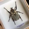 ++ แมลงสต๊าฟ กล่องแมลง ด้วงดอกไม้ขนาดใหญ่ Goliathus (ตัวผู้) ขนาดใหญ่ จากแอฟริกาใต้ ++