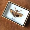 ++ แมลงสต๊าฟ กล่องแมลง ตั๊กแตนใบไม้แห้ง Deroplatys desiccata (ตัวเมีย) ++