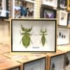 ++ แมลงสต๊าฟ กล่องแมลง ตั๊กแตนใบไม้ คู่ตัวเมีย-ตัวผู้ Walking Leaf Insect Pair of Female and Male ++