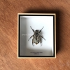 ++ แมลงสต๊าฟ กล่องแมลง ด้วงดอกไม้ขนาดใหญ่ Goliathus (ตัวเมีย) จากแอฟริกาใต้ ++