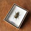 ++ แมลงสต๊าฟ กล่องแมลง ด้วงคีมสีทอง Allotopus moellenkampi ++
