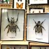 ++ แมลงสต๊าฟ กล่องแมลง ด้วงดอกไม้ขนาดใหญ่ Goliathus ตัวผู้-ตัวเมีย จากแอฟริกาใต้ รับเป็นคู่ถูกกว่า ++
