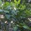 ต้นเงาะโรงเรียน ขนาดไม้หน้า 2 ขึ้นไป thumbnail 6