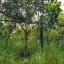 ต้นเงาะโรงเรียน ขนาดไม้หน้า 2 ขึ้นไป thumbnail 10