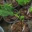 มะเดื่อฝรั่ง Japan thumbnail 3