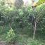 ต้นเงาะโรงเรียน ขนาดไม้หน้า 2 ขึ้นไป thumbnail 5