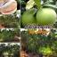 ส้มโอทองดี thumbnail 4