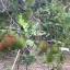 ต้นเงาะโรงเรียน ขนาดไม้หน้า 2 ขึ้นไป thumbnail 3