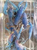 6กุ้งเครฟิชสี บูลอัลเลนี่ Blue Alleni ขนาด 2 นิ้ว (ปลีก)