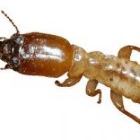 สมุนไพรป้องกัน มด แมลง ปลวก